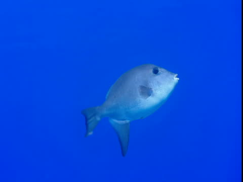 vídeos y material grabado en eventos de stock de an oceanic triggerfish flaps its fins as it moves through blue water. - parte del cuerpo animal