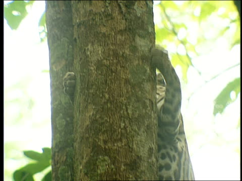 an ocelot climbs down a tree. - zoologia video stock e b–roll