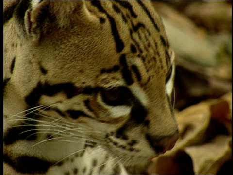 an ocelot looks around as it rests in leaf litter. - zoologia video stock e b–roll