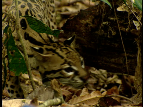 an ocelot prowls through a forest. - zoologia video stock e b–roll
