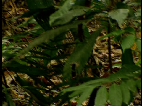 an ocelot prowls through a lush forest. - zoologia video stock e b–roll
