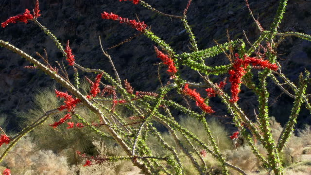 an ocotillo cactus blooms in a california desert. - cactus stock videos & royalty-free footage