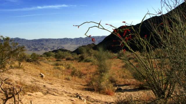 An Ocotillo cactus blooms in a California desert.