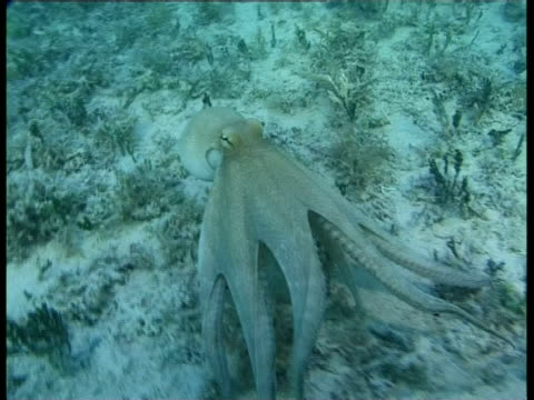stockvideo's en b-roll-footage met an octopus changes colors as it swims over the varied terrain of an ocean floor. - oceaanbodem