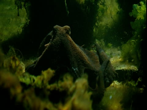 An octopus crawls between leafy plants on the seabed.