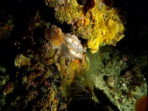 an octopus crawls into a coral reef crevice. - crevice stock videos & royalty-free footage