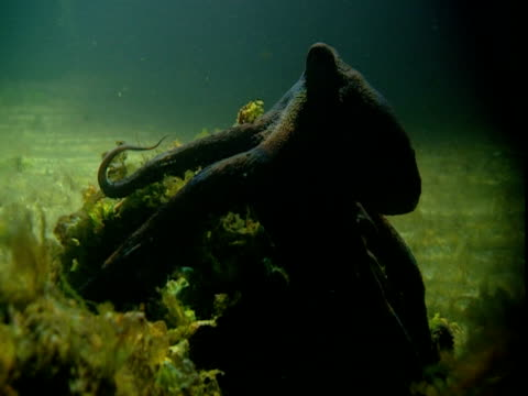 An octopus glides over a green, aquatic plant on the seabed.
