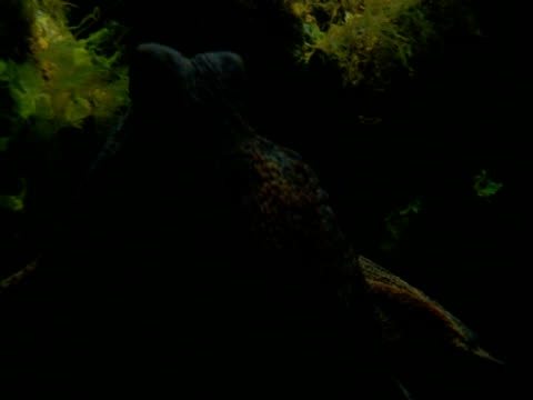 an octopus slithers over aquatic plants. - invertebrate stock videos & royalty-free footage
