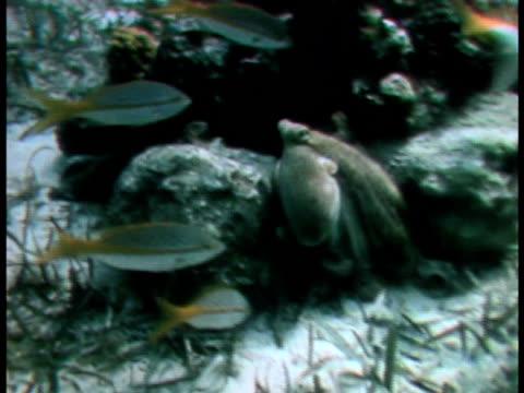 vidéos et rushes de an octopus squeezes into a hiding place in a rock - presser