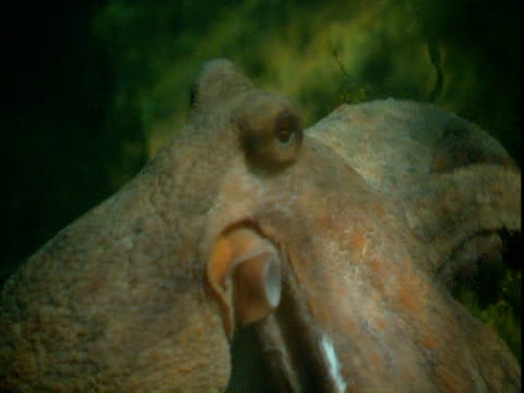 an octopus stands on the seabed using its arms. - gliedmaßen körperteile stock-videos und b-roll-filmmaterial