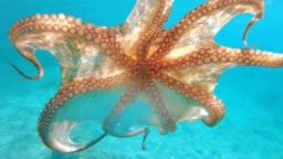 An Octopus Swimming