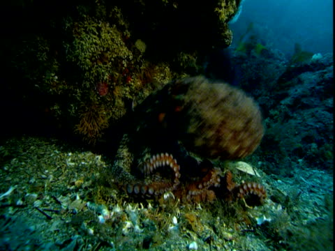 An octopus swims up from its camouflaged hiding place.