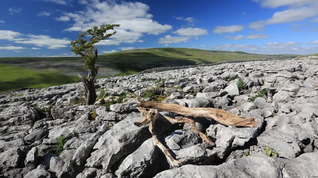 an old gnarly hawthorn tree growing on limestone pavement on twisleton scar above ingleton, yorkshire dales, uk with penyghent in the background. - weathered stock videos & royalty-free footage