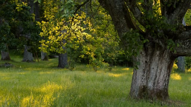 an old swedish whitebeam with sunlit branch in the summer in evening light - 硬木の木点の映像素材/bロール