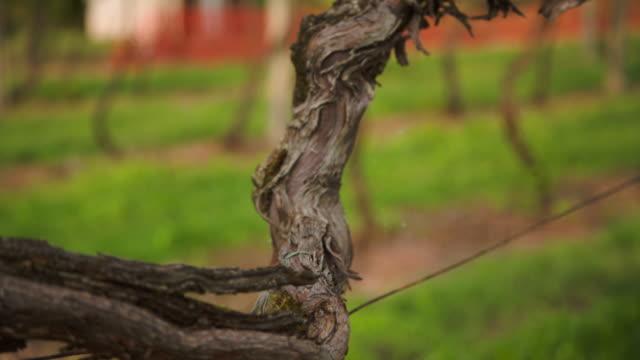 vídeos y material grabado en eventos de stock de an old vine's branch - hoja de la vid