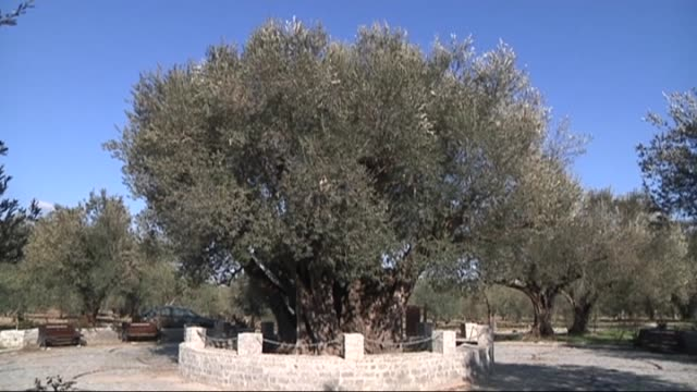 An olive tree is believed to have been about 2016 years old in Kirkagac district of Manisa western Turkey on February 01 2016 The oldest olive tree...