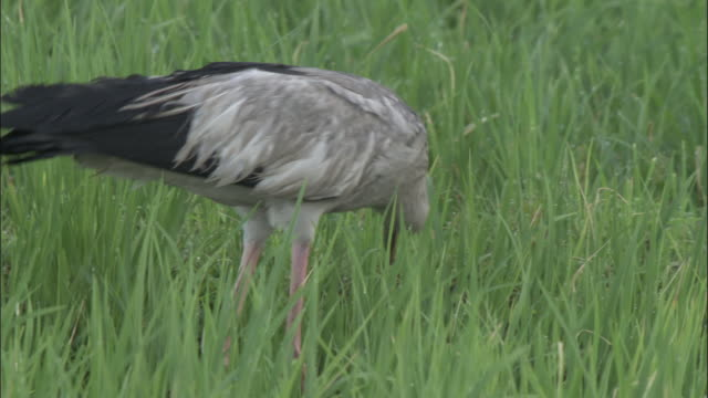 An openbill stork forages in a grassy meadow. Available in HD.