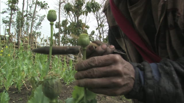an opium farmer tends his plants. - narcotic stock videos & royalty-free footage