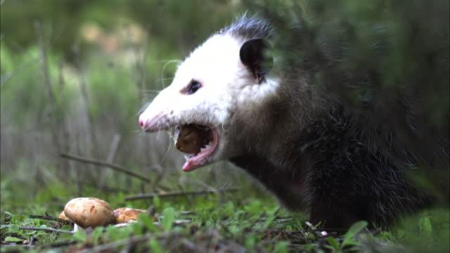 An opossum grabs a potato off the ground.