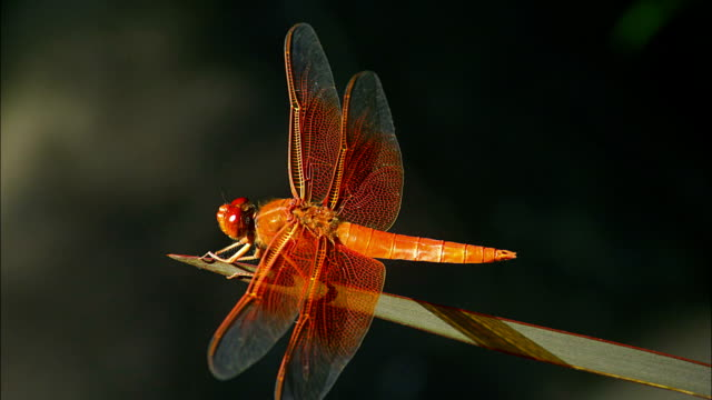 an orange dragonfly sits on a long blade of grass. - blade of grass点の映像素材/bロール