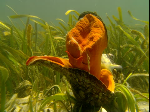 an orange florida horse conch extends its mantle. - 軟体動物点の映像素材/bロール