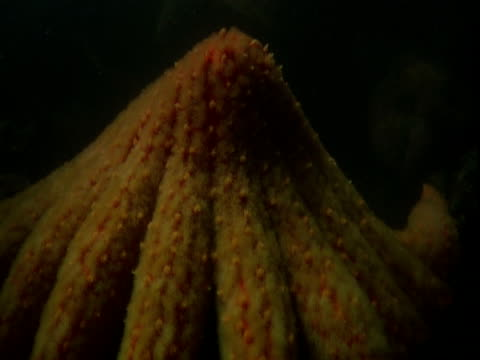 An orange sea star investigates a bed of scallops with its arms.