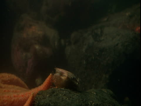an orange sea star startles a scallop that skitters through water thick with plankton. - ホタテ点の映像素材/bロール