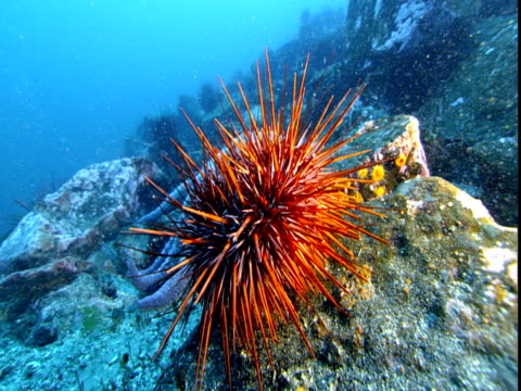 an orange sea urchin rests on the rocky ocean floor. - sea urchin stock videos and b-roll footage