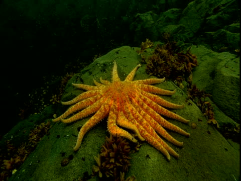 An orange sunflower seastar crawls over rock on the seabed in Telegraph Cove, Canada.