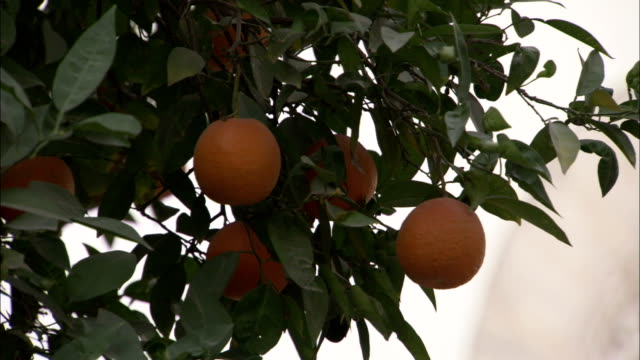an orange tree stands next to an intricately carved window in a courtyard garden. available in hd. - courtyard stock videos and b-roll footage