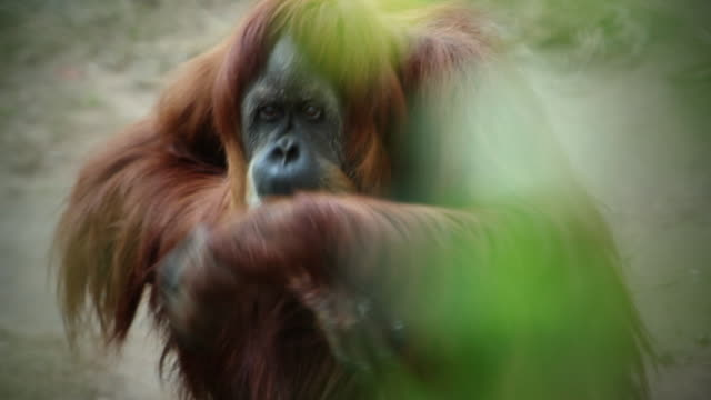 An orangutan begging for food at the zoo.