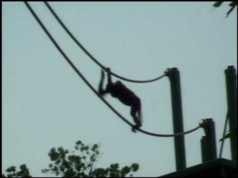 an orangutan climbs across ropes. - tier in gefangenschaft stock-videos und b-roll-filmmaterial