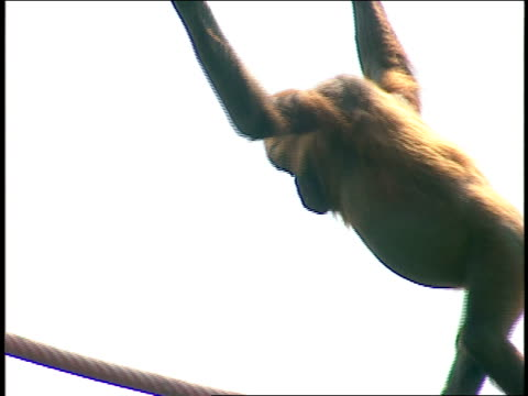 an orangutan climbs ropes in its enclosure. - tier in gefangenschaft stock-videos und b-roll-filmmaterial