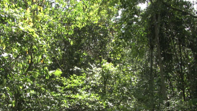 an orangutan eats leaves while hanging in a tree in the jungle of borneo, malaysia. - malaysia stock videos & royalty-free footage