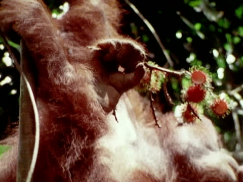 stockvideo's en b-roll-footage met an orangutan eats some fruit from a branch while hanging in a tree. - foerageren