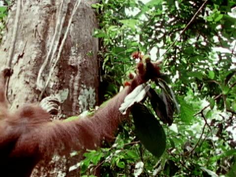 an orangutan grabs a cluster of fruit high in a tree while swinging on a vine. - 食糧を捜す点の映像素材/bロール