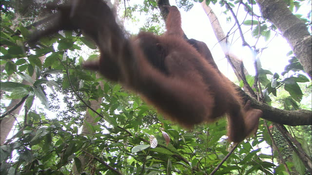 an orangutan hangs by its feet from a tree branch. - branch stock videos & royalty-free footage