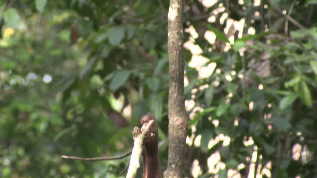 an orangutan hangs from a branch. - branch stock videos & royalty-free footage