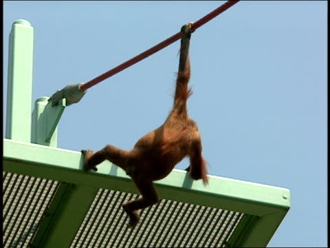 an orangutan hangs from a rope and climbs down a platform. - tier in gefangenschaft stock-videos und b-roll-filmmaterial