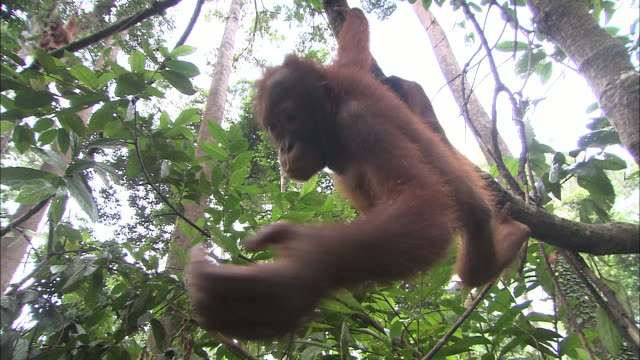 an orangutan hangs from a tree branch. - branch stock videos & royalty-free footage