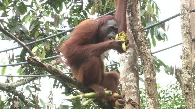An orangutan on a tree in Borneo, Malaysia.