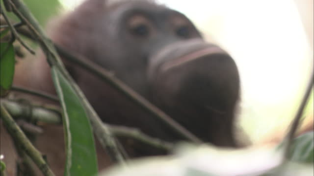 an orangutan rests in tree branches. - resting stock videos & royalty-free footage