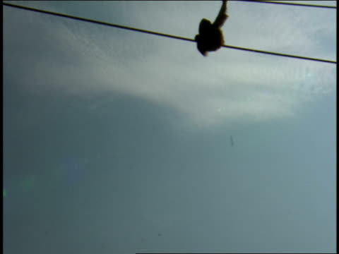 an orangutan sits on a high rope. - tier in gefangenschaft stock-videos und b-roll-filmmaterial