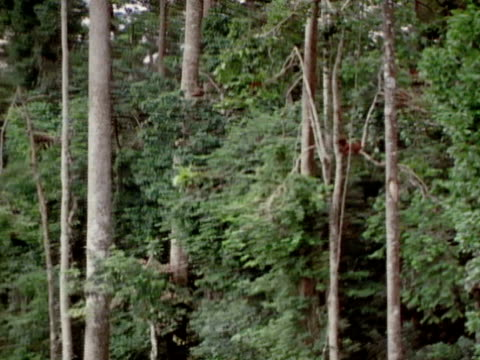 an orangutan sleeps in a tree. - luta sig tillbaka bildbanksvideor och videomaterial från bakom kulisserna