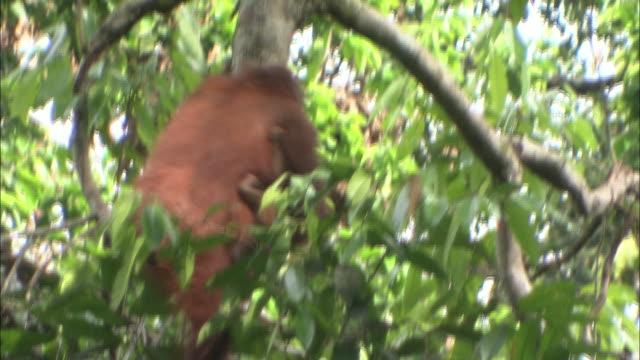 an orangutan swings in a tree. - swinging stock videos & royalty-free footage
