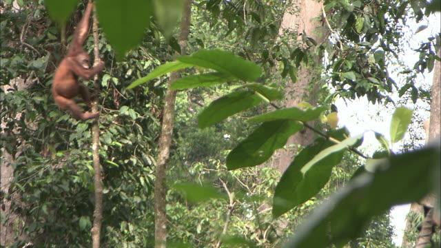 an orangutan swings on a slender tree trunk. - swinging stock videos & royalty-free footage