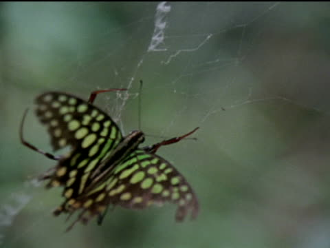 an orb weaver spider kills a green spotted triangle butterfly caught in its web and covers it with silk - trapped stock videos & royalty-free footage