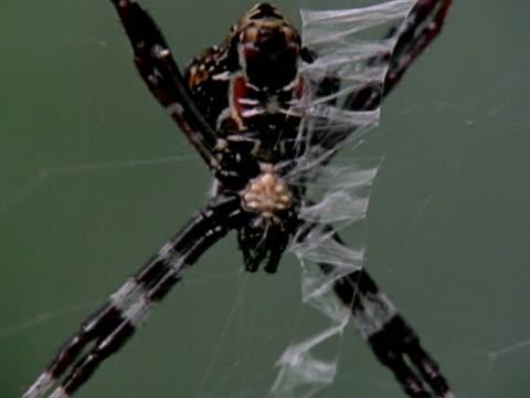 an orb-weaver spider hangs on its web. - クモ類点の映像素材/bロール