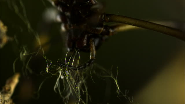 an orb-weaver spider works with a tangle of silk thread to build a web. - 動物の色点の映像素材/bロール