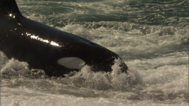 an orca attacks a seal in the surf. - provinz chubut stock-videos und b-roll-filmmaterial